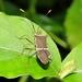 Cletomorpha raja - Photo (c) Subhajit Roy, algunos derechos reservados (CC BY-NC-ND)