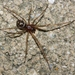 False Black Widow - Photo (c) James Bailey, some rights reserved (CC BY-NC)
