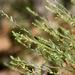 Phyllanthaceae - Photo (c) Patrick Alexander, osa oikeuksista pidätetään (CC BY-NC-ND)