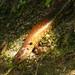 Sphenomorphus praesignis - Photo (c) John Howes, algunos derechos reservados (CC BY-NC)