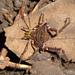 Discocyrtus prospicuus - Photo (c) Nicolas Olejnik, μερικά δικαιώματα διατηρούνται (CC BY-NC)