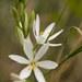 Anthericum liliago - Photo (c) ƒred, algunos derechos reservados (CC BY-NC-SA)
