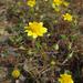 Lasthenia gracilis - Photo (c) Gravitywave, algunos derechos reservados (CC BY-NC-SA)