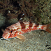 Striped Red Mullet - Photo (c) whodden, some rights reserved (CC BY-NC)