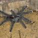 Avicularia - Photo (c) Sean McCann, algunos derechos reservados (CC BY-NC-SA)