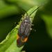Polymerus venaticus - Photo (c) Fyn Kynd, algunos derechos reservados (CC BY-SA)