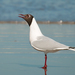 Brown-hooded Gull - Photo (c) Cláudio Dias Timm, some rights reserved (CC BY-NC-SA)