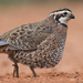 Northern Bobwhite - Photo (c) Scott Buckel, some rights reserved (CC BY-NC)