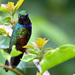 Garnet-throated Hummingbird - Photo (c) Birding Chiapas-Guillermo RZ, some rights reserved (CC BY-NC)