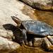 Tortuga de Caparazón Blando India - Photo (c) Allan Hopkins, algunos derechos reservados (CC BY-NC-ND)