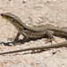 Southern Italian Wall Lizard - Photo (c) Mario Columba, some rights reserved (CC BY-NC-ND)