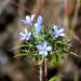 Marigold Pincushionplant - Photo (c) David Hofmann, some rights reserved (CC BY-NC-ND)