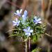 Navarretia tagetina - Photo (c) David Hofmann, algunos derechos reservados (CC BY-NC-ND)