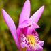 Arethusa bulbosa - Photo (c) NC Orchid, μερικά δικαιώματα διατηρούνται (CC BY-NC)