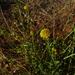 Calotis erinacea - Photo (c) Wayne Martin, algunos derechos reservados (CC BY-NC)