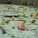 Flor de Agua - Photo (c) botanygirl, algunos derechos reservados (CC BY), uploaded by botanygirl