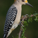 Golden-fronted Woodpecker - Photo (c) Scott Buckel, some rights reserved (CC BY-NC)