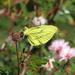 Mariposa Mimética Amarilla - Photo (c) Ezequiel Vera, algunos derechos reservados (CC BY-NC)