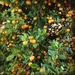 Calamondin - Photo (c) Rosa Say, some rights reserved (CC BY-NC-ND)