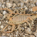 Dune Devil Scorpion - Photo (c) Marshal Hedin, some rights reserved (CC BY-NC-SA)