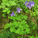 Siberian Columbine - Photo (c) V.S. Volkotrub, some rights reserved (CC BY-NC)
