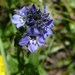 Veronica alpina - Photo (c) Magnus, μερικά δικαιώματα διατηρούνται (CC BY-ND)