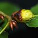 Melikaiella flora - Photo (c) 2008 Judy McBride, algunos derechos reservados (CC BY-NC)
