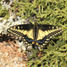 Desert Black Swallowtail - Photo (c) Roger Rittmaster, some rights reserved (CC BY-NC)