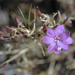 Snow Mountain Willowherb - Photo (c) Ryan Elliott, some rights reserved (CC BY)