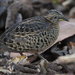 Red-backed Buttonquail - Photo (c) Greg Miles, some rights reserved (CC BY-SA)