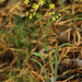 Bupleurum scorzonerifolium - Photo (c) V.S. Volkotrub,  זכויות יוצרים חלקיות (CC BY-NC)