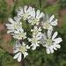 Orlaya grandiflora - Photo (c) TANAKA Juuyoh (田中十洋), algunos derechos reservados (CC BY)