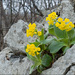 Primula auricula - Photo (c) Amadej Trnkoczy, algunos derechos reservados (CC BY-NC-SA)