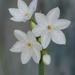 Narcissus papyraceus - Photo (c) Robert, algunos derechos reservados (CC BY-NC)