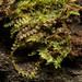 Calypogeia fissa - Photo (c) Ken-ichi Ueda, algunos derechos reservados (CC BY)