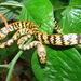 Siphlophis cervinus - Photo (c) John G. Phillips, algunos derechos reservados (CC BY-NC)