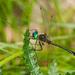 Dorocordulia libera - Photo (c) greglasley, algunos derechos reservados (CC BY-NC), uploaded by Greg Lasley