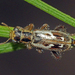 Lemidia cicatricosa - Photo (c) Simon Grove, algunos derechos reservados (CC BY-NC), uploaded by Simon Grove (TMAG)