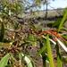 Eucalyptus gracilis - Photo (c) Wayne Martin, osa oikeuksista pidätetään (CC BY-NC)