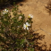 Mueller Daisy-Bush - Photo (c) Wayne Martin, some rights reserved (CC BY-NC)