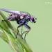 Coenosia tigrina - Photo (c) Marcello Consolo, μερικά δικαιώματα διατηρούνται (CC BY-NC-SA)