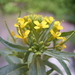 Wormseed Wallflower - Photo (c) anonymous, some rights reserved (CC BY-SA)