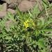 Rorippa palustris - Photo (c) eyeweed, alguns direitos reservados (CC BY-NC-ND)