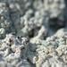 Baeomyces placophyllus - Photo (c) Tab Tannery, μερικά δικαιώματα διατηρούνται (CC BY-NC-SA)