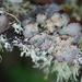 Lobarina scrobiculata - Photo (c) Tab Tannery, algunos derechos reservados (CC BY-NC-SA)