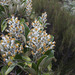 Brachyglottis elaeagnifolia - Photo (c) Nuytsia@Tas, some rights reserved (CC BY-NC-SA)