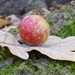Cherry Gall Wasp - Photo (c) NATT-at-NKM, some rights reserved (CC BY)