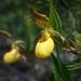Cypripedium - Photo (c) Rodrigo Sala, algunos derechos reservados (CC BY-ND)