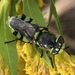 Odontomyia - Photo (c) kenttrulsson, alguns direitos reservados (CC BY-NC)
