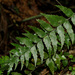 Mare's Tail Fern - Photo (c) Katja Schulz, some rights reserved (CC BY)